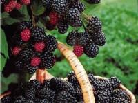 Blackberry&Shooting(2nd O)