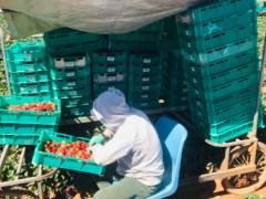 High Season Strawberry Farm.