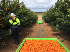 CITRUS PICKERS WANTED