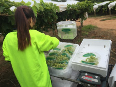 TABLE GRAPE PICKING