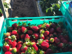 Strawberry Farm Recruitment