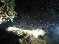 今年もやってきた!グレートバリアリーフの珊瑚の産卵ナイトダイビング!!