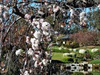 カウラで桜祭り&慰霊祭開催