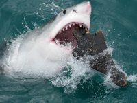【本当は危険?】オーストラリアのサメ・シャークアタック!