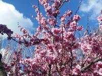 シドニーの桜