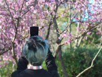 8月のシドニーイベント/シドニー桜まつりで日本の風情を感じよう!