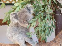 タロンガだけじゃない!コアラと触れ合える動物園☆