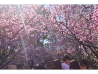 シドニーに春到来! 花の祭典「桜祭り」開催