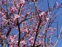シドニー毎年恒例の桜祭り『Sydney Cherry Blossom Festival 2019』に行ってきました!