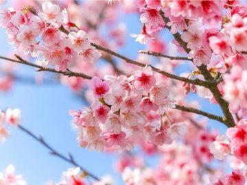 もうすぐ春。オーストラリアでも桜は見れる?