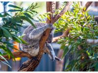 コアラと養子縁組をして、コアラをサポートしてみませんか?